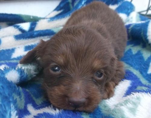 カニンヘンダックスフンド(ロング)の子犬(ID:1238911149)の1枚目の写真/更新日:2017-04-24