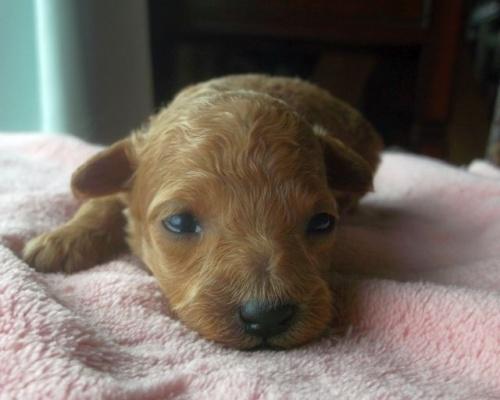 トイプードルの子犬(ID:1238911150)の1枚目の写真/更新日:2017-05-25