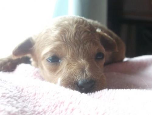 トイプードルの子犬(ID:1238911150)の2枚目の写真/更新日:2017-05-25