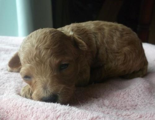 トイプードルの子犬(ID:1238911150)の4枚目の写真/更新日:2017-05-25