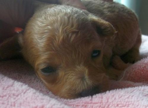 トイプードルの子犬(ID:1238911150)の5枚目の写真/更新日:2017-05-25