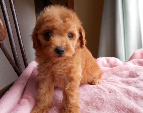 トイプードルの子犬(ID:1238911151)の2枚目の写真/更新日:2017-07-03