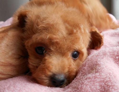 トイプードルの子犬(ID:1238911151)の3枚目の写真/更新日:2017-06-12