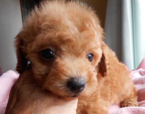 トイプードルの子犬(ID:1238911151)の4枚目の写真/更新日:2017-06-12
