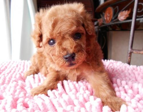 トイプードルの子犬(ID:1238911152)の1枚目の写真/更新日:2017-06-12
