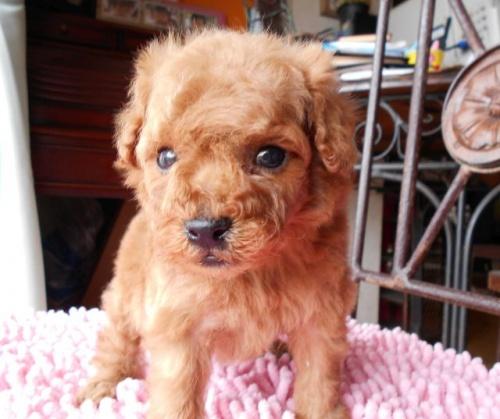 トイプードルの子犬(ID:1238911152)の2枚目の写真/更新日:2017-06-12