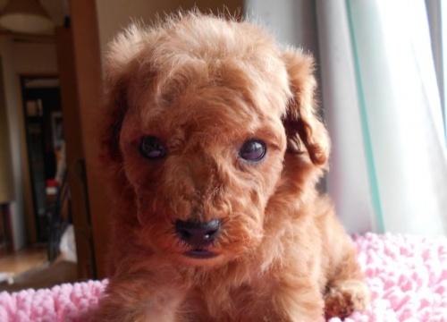トイプードルの子犬(ID:1238911152)の3枚目の写真/更新日:2017-06-12