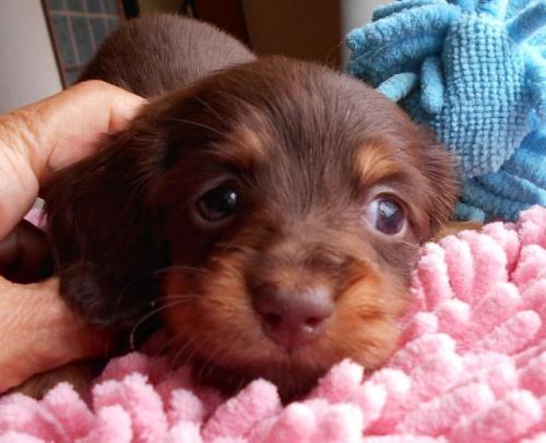 ミニチュアダックスフンド(ロング)の子犬(ID:1238911154)の1枚目の写真/更新日:2017-06-13