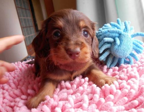 ミニチュアダックスフンド(ロング)の子犬(ID:1238911154)の5枚目の写真/更新日:2017-06-13
