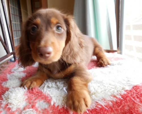 ミニチュアダックスフンド(ロング)の子犬(ID:1238911155)の2枚目の写真/更新日:2017-07-17