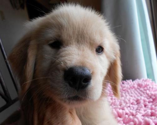 ゴールデンレトリバーの子犬(ID:1238911156)の1枚目の写真/更新日:2017-08-08