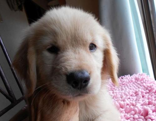 ゴールデンレトリバーの子犬(ID:1238911156)の2枚目の写真/更新日:2017-08-08
