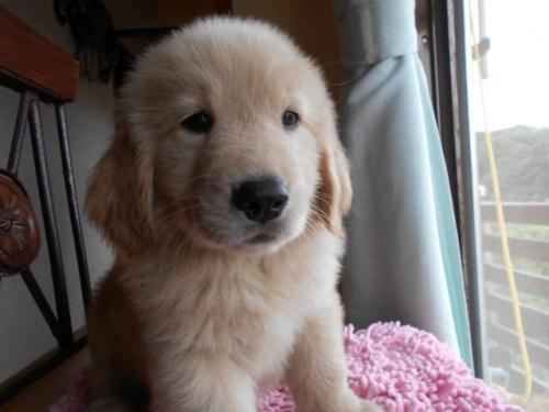 ゴールデンレトリバーの子犬(ID:1238911159)の1枚目の写真/更新日:2017-09-11