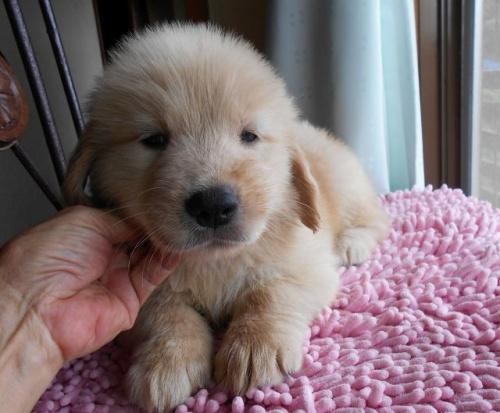 ゴールデンレトリバーの子犬(ID:1238911159)の2枚目の写真/更新日:2017-09-11
