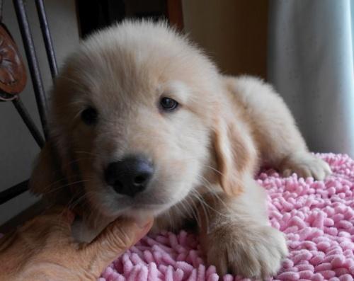 ゴールデンレトリバーの子犬(ID:1238911159)の3枚目の写真/更新日:2017-09-11