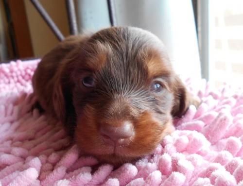 ミニチュアダックスフンド(ロング)の子犬(ID:1238911160)の1枚目の写真/更新日:2017-09-05