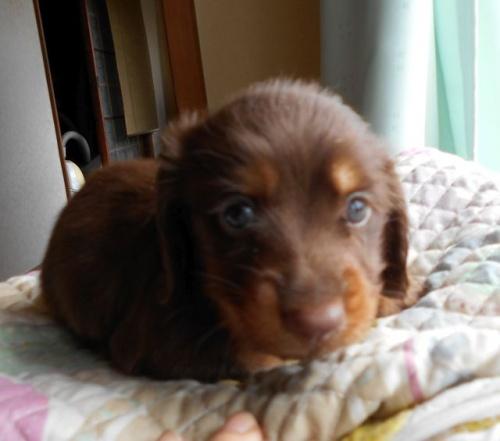 ミニチュアダックスフンド(ロング)の子犬(ID:1238911161)の3枚目の写真/更新日:2017-09-19