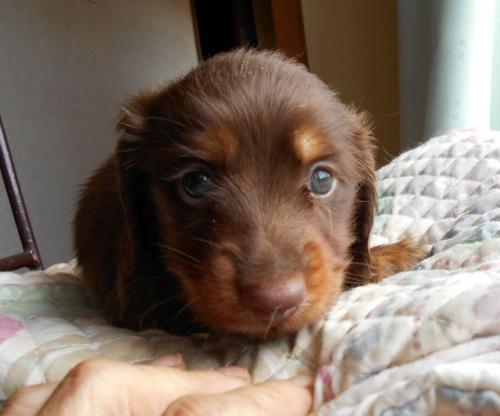 ミニチュアダックスフンド(ロング)の子犬(ID:1238911161)の4枚目の写真/更新日:2017-09-19
