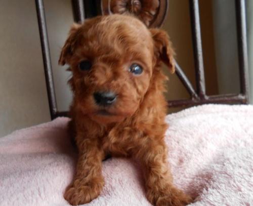 カニンヘンダックスフンド(スムース)の子犬(ID:1238911163)の3枚目の写真/更新日:2017-12-26
