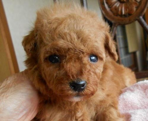トイプードルの子犬(ID:1238911164)の1枚目の写真/更新日:2017-12-26