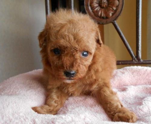 トイプードルの子犬(ID:1238911164)の2枚目の写真/更新日:2017-12-26