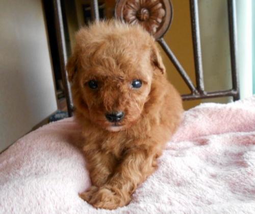 トイプードルの子犬(ID:1238911164)の4枚目の写真/更新日:2017-12-26