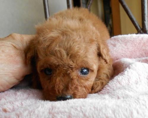 トイプードルの子犬(ID:1238911164)の5枚目の写真/更新日:2017-12-26