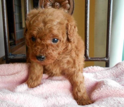 トイプードルの子犬(ID:1238911165)の1枚目の写真/更新日:2017-12-26