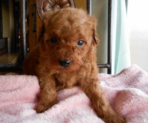 トイプードルの子犬(ID:1238911165)の2枚目の写真/更新日:2017-12-26