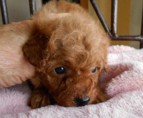 トイプードルの子犬(ID:1238911165)の5枚目の写真/更新日:2017-12-26