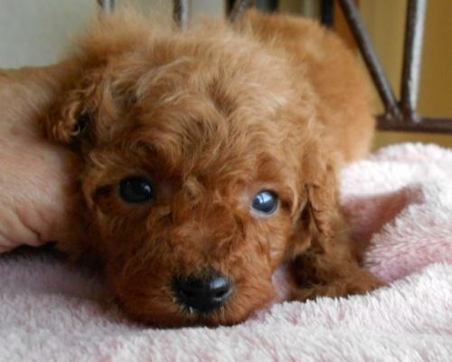 トイプードルの子犬(ID:1238911165)の6枚目の写真/更新日:2017-12-26
