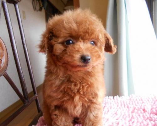 トイプードルの子犬(ID:1238911166)の2枚目の写真/更新日:2018-01-12