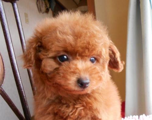 トイプードルの子犬(ID:1238911166)の3枚目の写真/更新日:2018-01-12