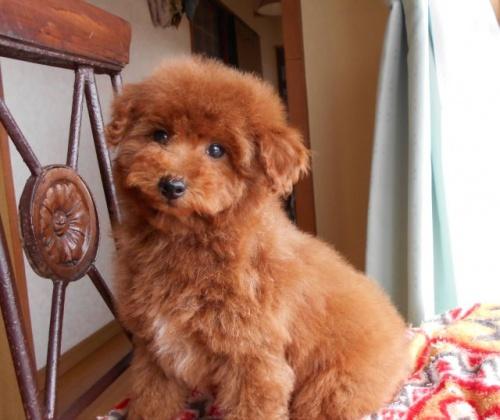 トイプードルの子犬(ID:1238911167)の1枚目の写真/更新日:2018-02-13