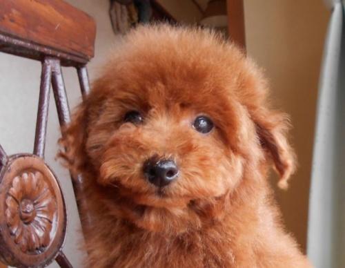 トイプードルの子犬(ID:1238911167)の2枚目の写真/更新日:2018-02-13