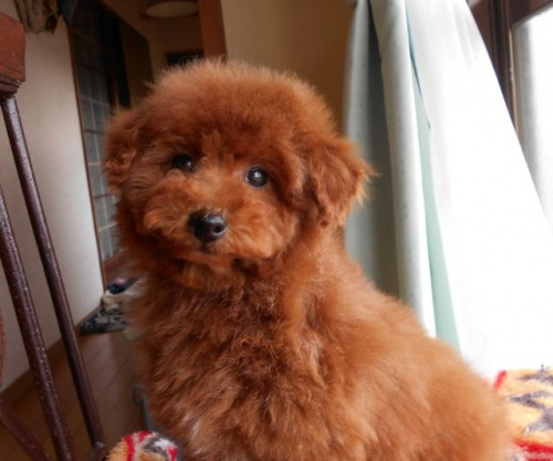 トイプードルの子犬(ID:1238911167)の3枚目の写真/更新日:2018-02-13