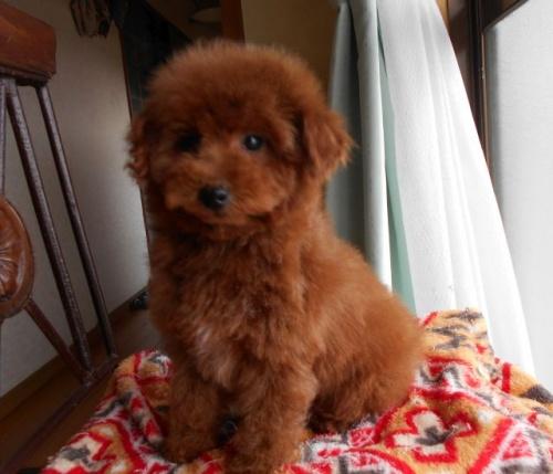 トイプードルの子犬(ID:1238911167)の4枚目の写真/更新日:2018-02-13