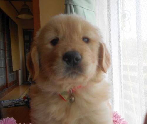 ゴールデンレトリバーの子犬(ID:1238911168)の3枚目の写真/更新日:2018-03-04