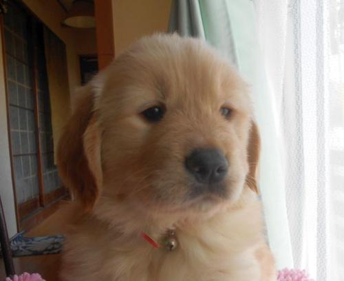 ゴールデンレトリバーの子犬(ID:1238911168)の4枚目の写真/更新日:2018-03-04