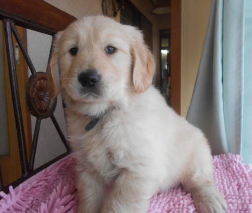 ゴールデンレトリバーの子犬(ID:1238911172)の2枚目の写真/更新日:2018-03-27