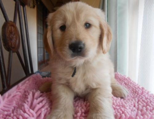 ゴールデンレトリバーの子犬(ID:1238911172)の4枚目の写真/更新日:2018-03-27