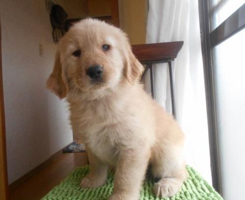 ゴールデンレトリバーの子犬(ID:1238911173)の1枚目の写真/更新日:2018-04-08