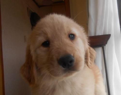 ゴールデンレトリバーの子犬(ID:1238911173)の3枚目の写真/更新日:2018-04-08