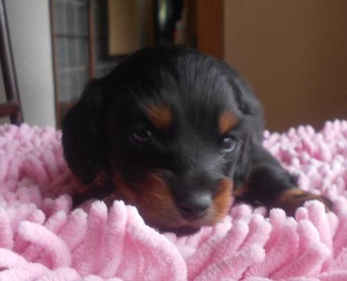 カニンヘンダックスフンド(ロング)の子犬(ID:1238911174)の1枚目の写真/更新日:2018-05-20