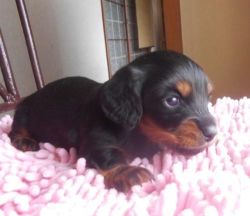 カニンヘンダックスフンド(ロング)の子犬(ID:1238911174)の2枚目の写真/更新日:2018-05-20