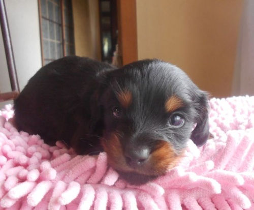 カニンヘンダックスフンド(ロング)の子犬(ID:1238911174)の3枚目の写真/更新日:2018-05-20