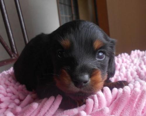 カニンヘンダックスフンド(ロング)の子犬(ID:1238911174)の4枚目の写真/更新日:2018-05-20