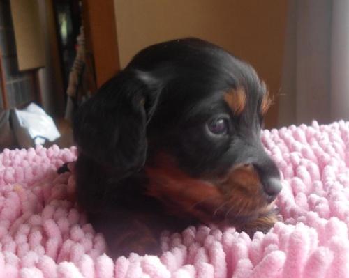 カニンヘンダックスフンド(ロング)の子犬(ID:1238911175)の1枚目の写真/更新日:2018-05-20