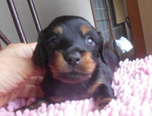 カニンヘンダックスフンド(ロング)の子犬(ID:1238911175)の4枚目の写真/更新日:2018-05-20