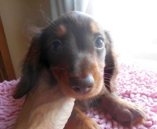 ミニチュアダックスフンド(ロング)の子犬(ID:1238911176)の1枚目の写真/更新日:2018-06-17